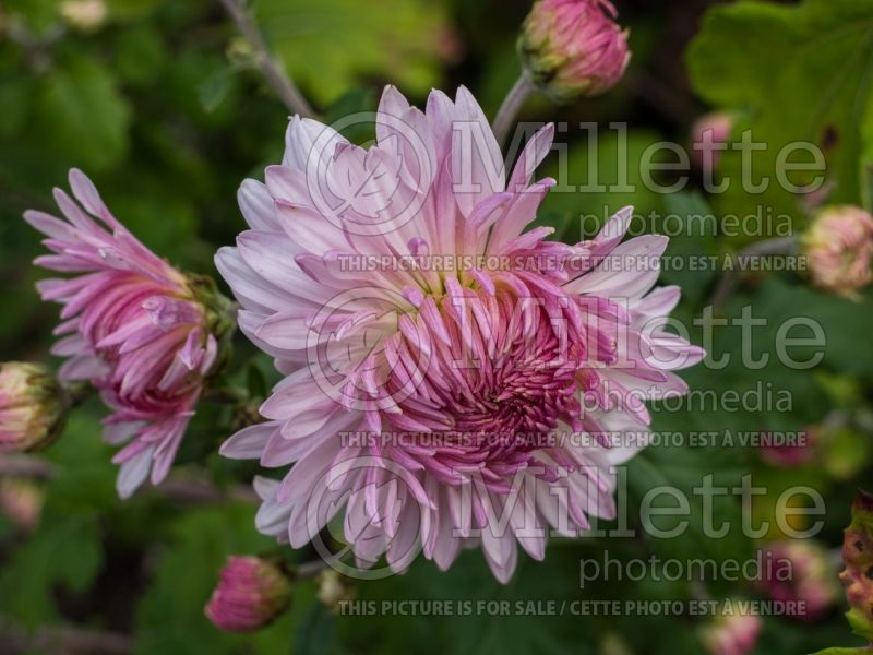 Chrysanthemum Emperor of China (Garden Mum) 2