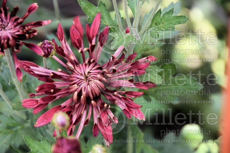 Chrysanthemum Red Carousel (Garden Mum) 1