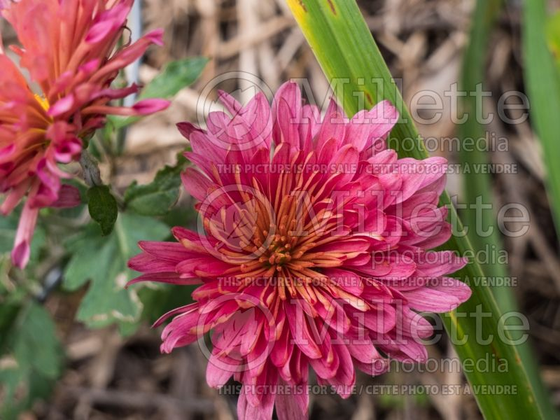 Chrysanthemum Rose Blush (Garden Mum) 1