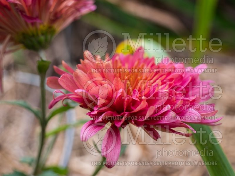 Chrysanthemum Rose Blush (Garden Mum) 2