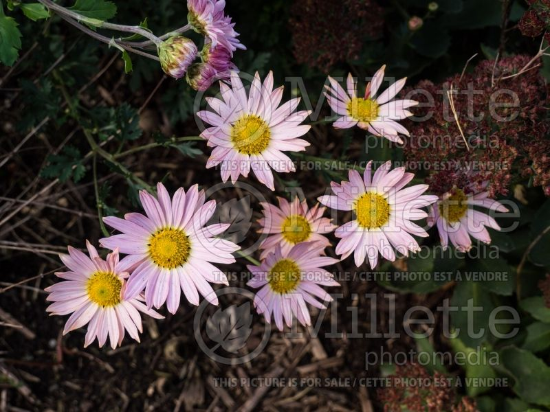 Chrysanthemum Sheffield Pink or Hillside Pink (Garden Mum) 1