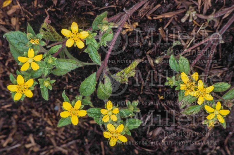 Chrysogonum virginianum (golden knee golden star) 2