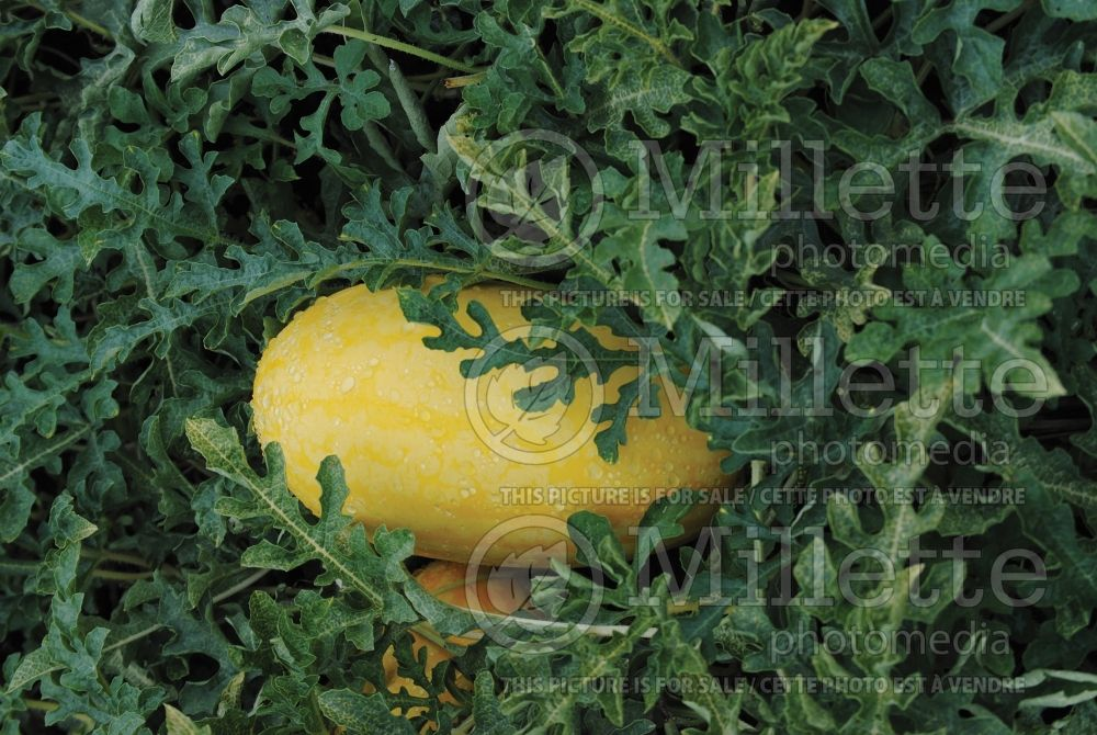 Citrullus Gold in Gold (Watermelon) 1