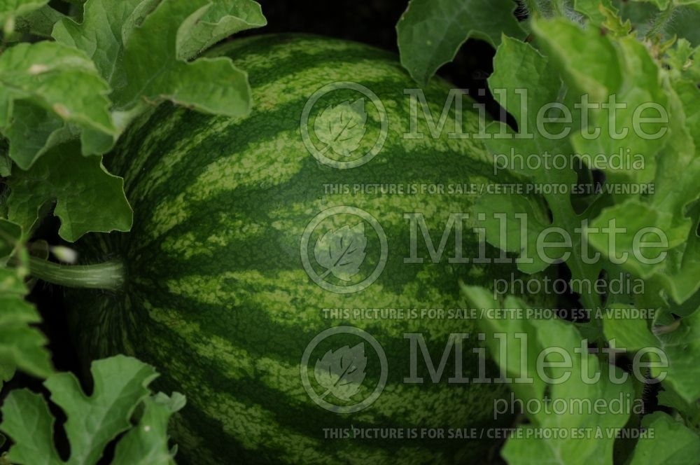 Citrullus Shiny Boy (Watermelon) 4