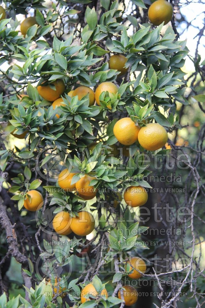 Citrus Chinotto (Orange) 1