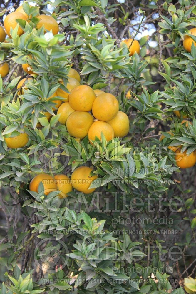 Citrus Chinotto (Orange) 2