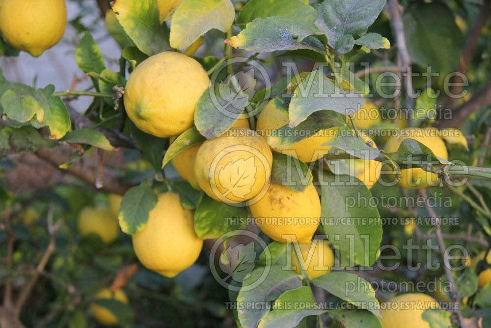 Citrus Eureka (Lemon) 5