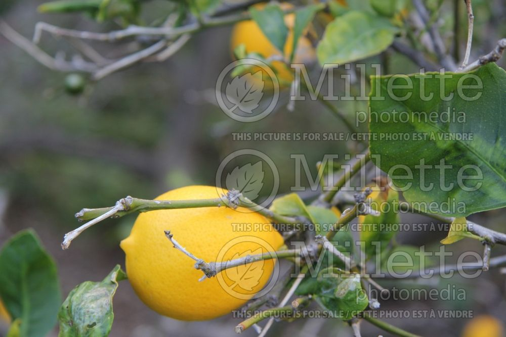 Citrus Improved Meyer (lemon) 1