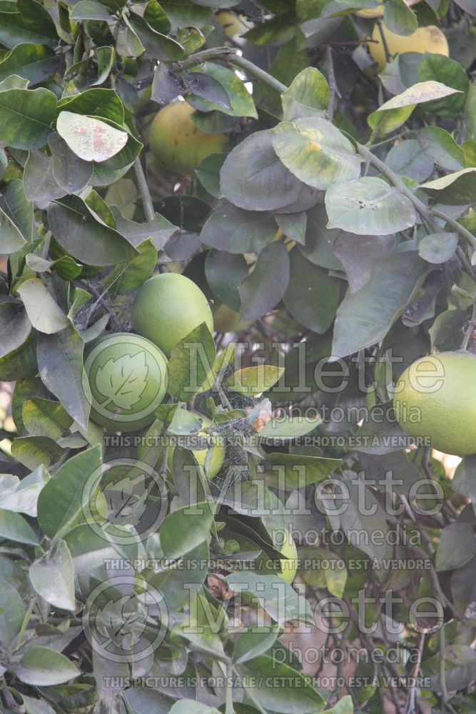 Citrus Oro Blanco aka Oroblanco (grapefruit Tree) 2