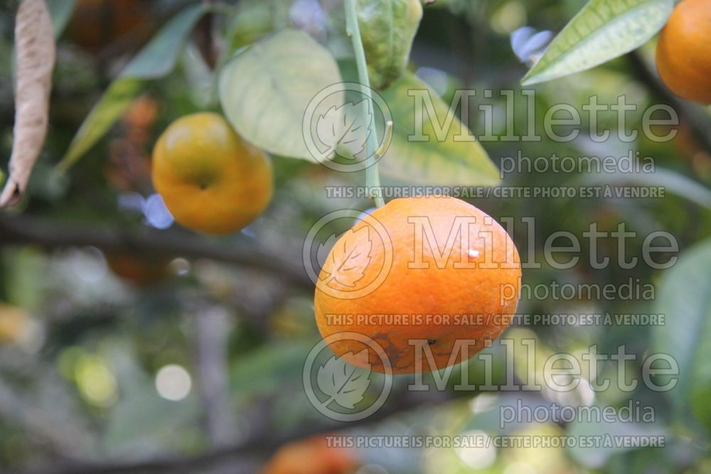 Citrus Dancy (mandarin Tree) 2