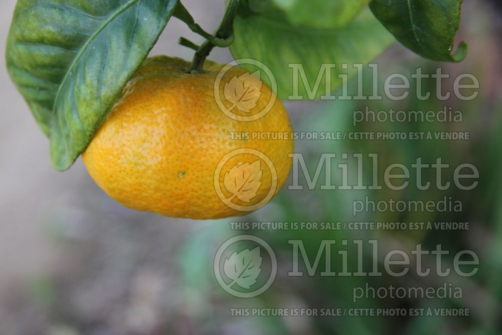 Citrus Gold Nugget (mandarin Tree) 2