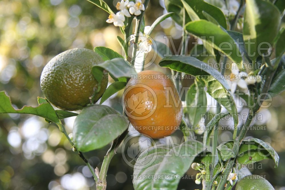 Citrus Honey (mandarin Tree) 2
