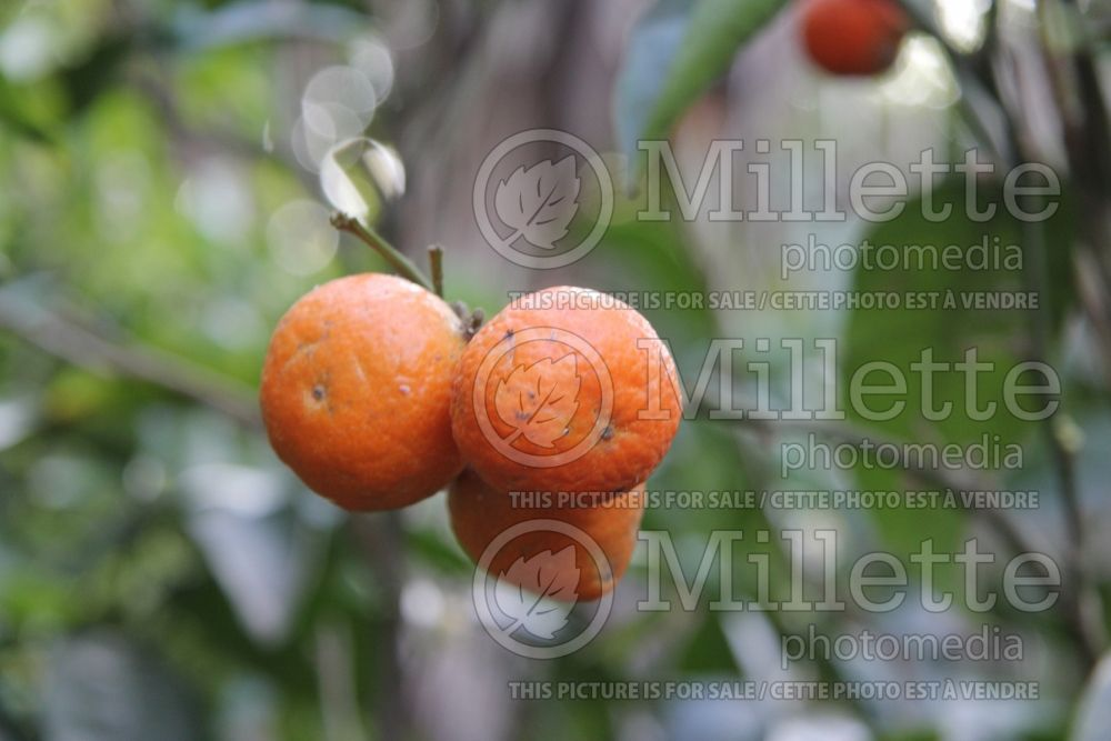 Citrus Page (mandarin Tree) 1