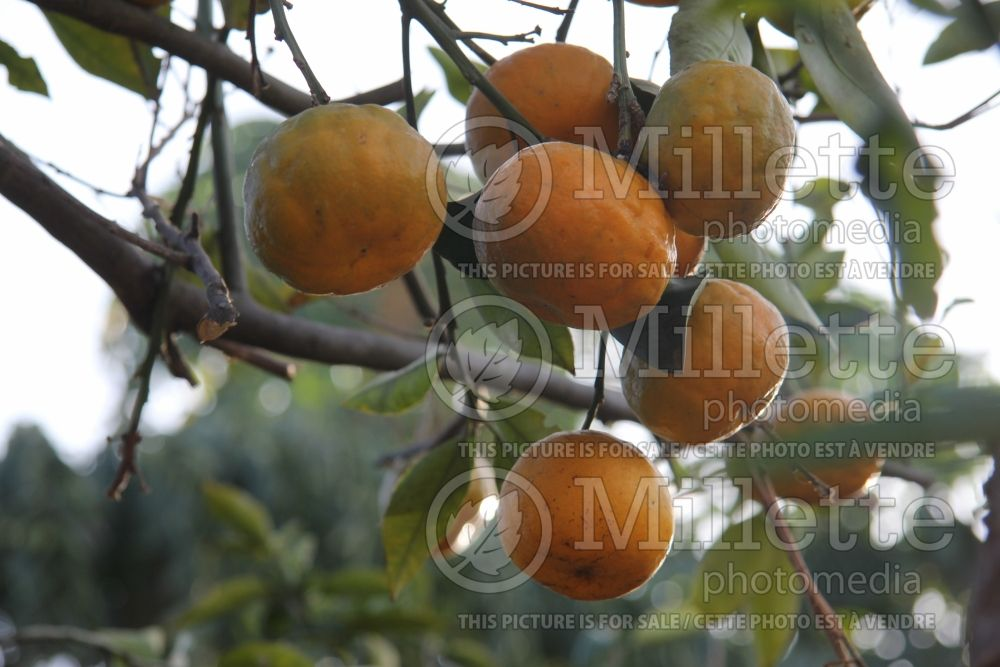 Citrus Ugli (mandarin Tree) 2