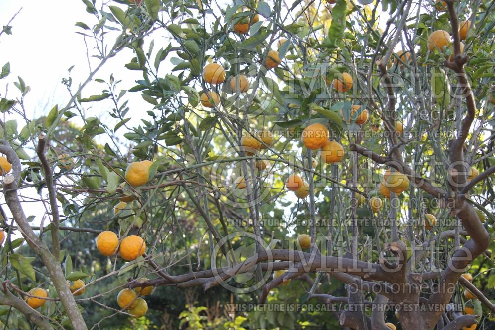 Citrus Ugli (mandarin Tree) 1