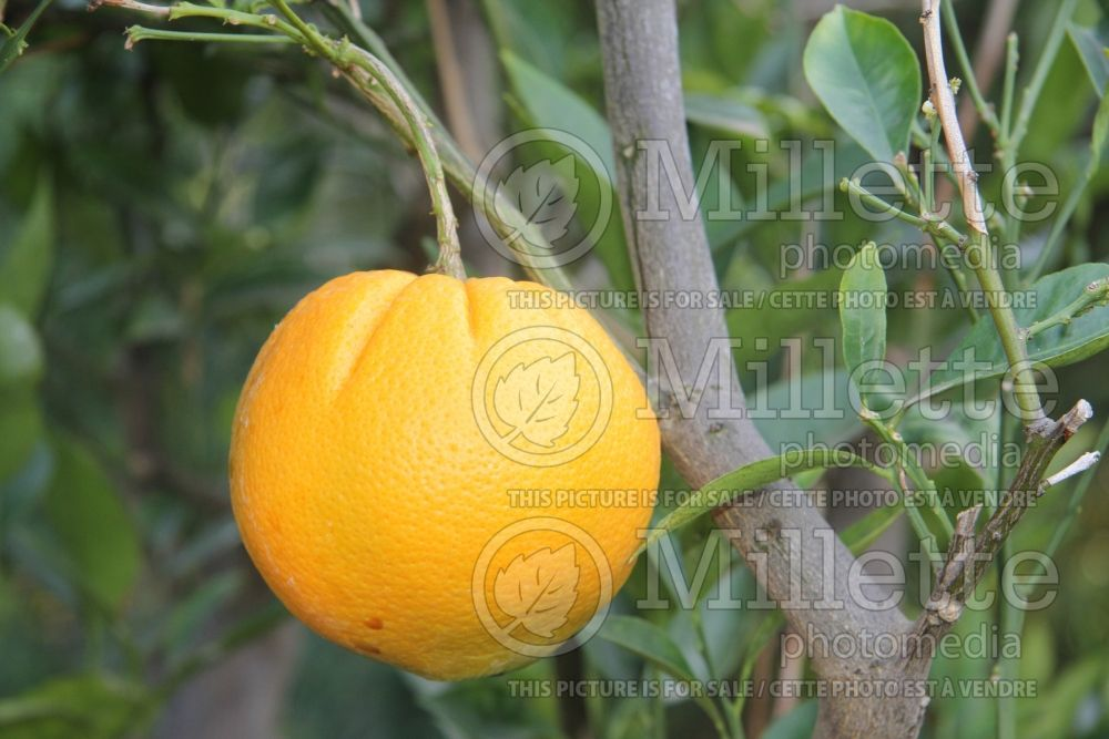 Citrus Cara Cara (Orange Tree) 1
