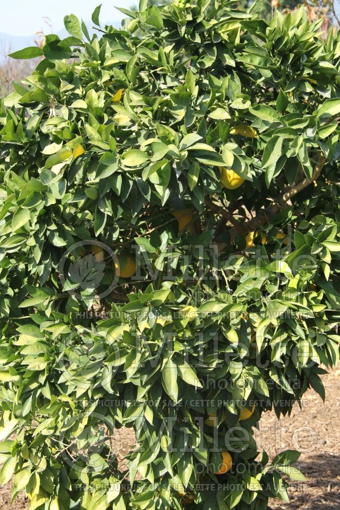 Citrus Moro (Orange Tree) 3