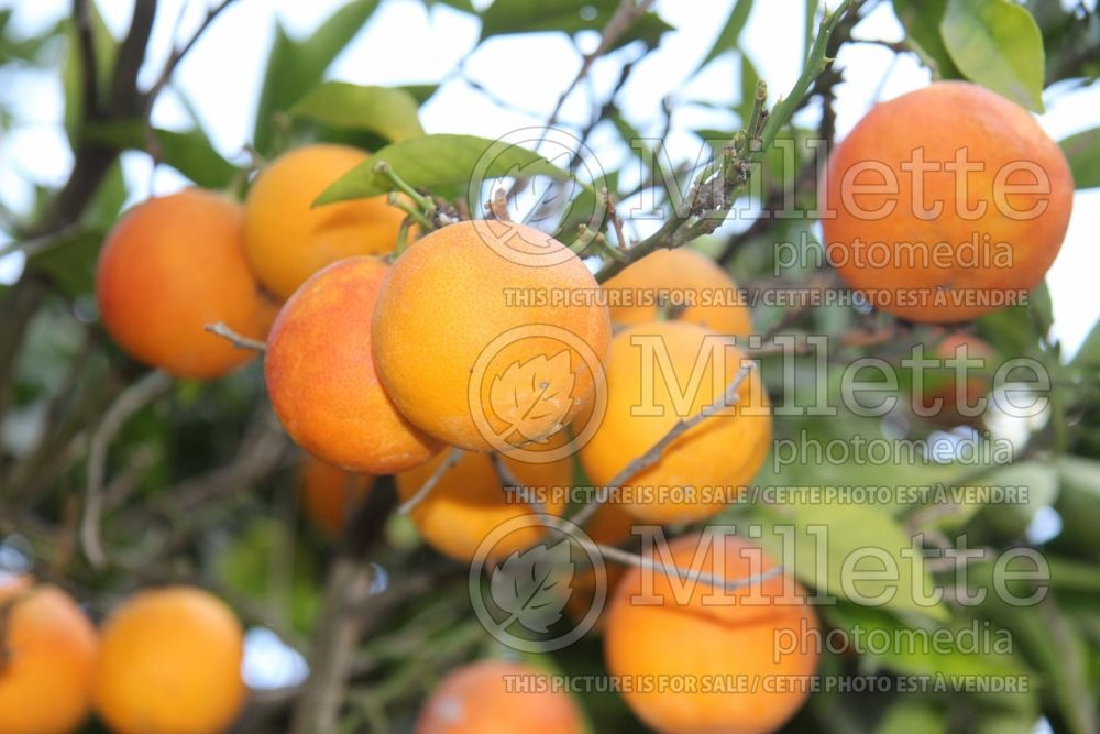 Citrus Moro (Orange Tree) 2