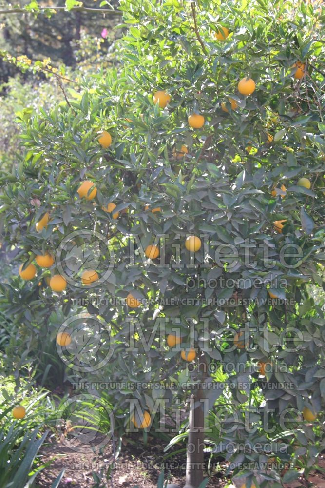 Citrus Valencia (Orange Tree) 3