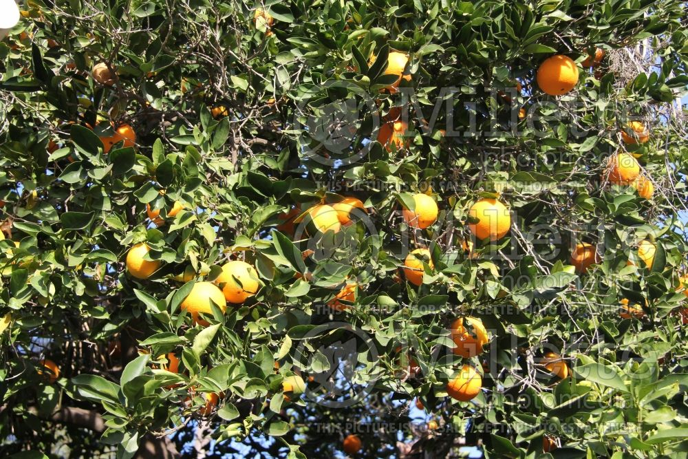 Citrus Washington Navel (Orange Tree) 1