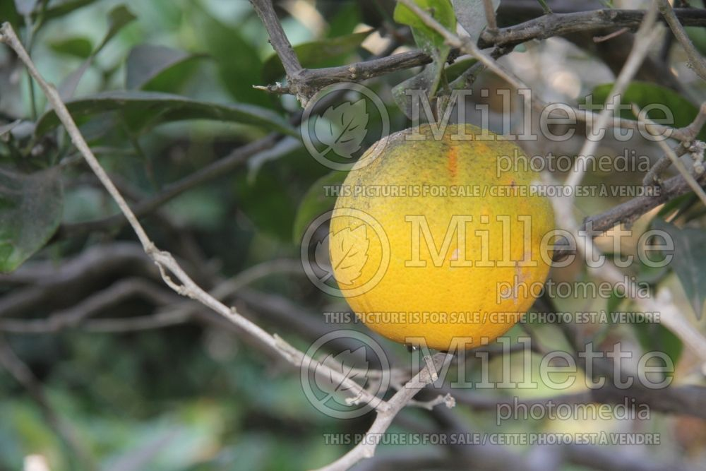 Citrus Washington Navel (Orange Tree) 2