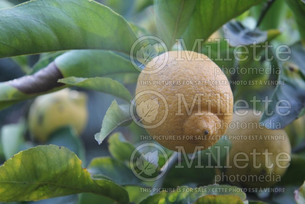 Citrus Lisbon Lemon (lemon Tree) 2