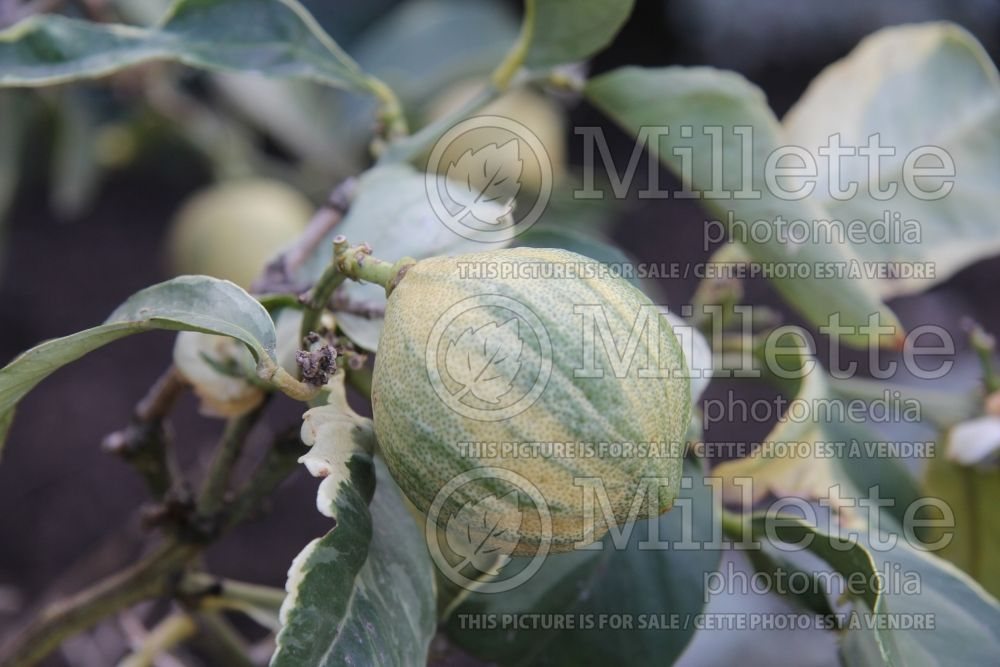 Citrus Variegated Eureka Lemon (lemon) 1