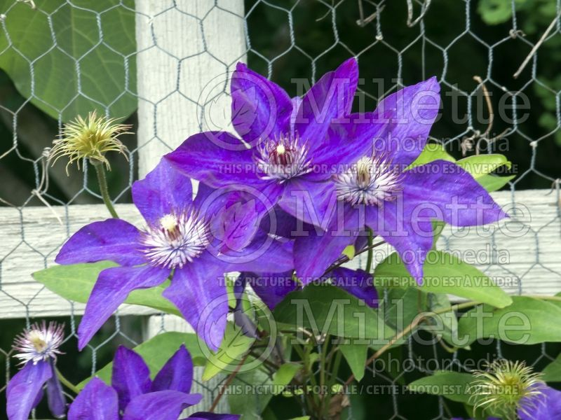 Clematis The President (Clématite) 7