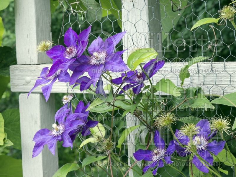 Clematis The President (Clématite) 8