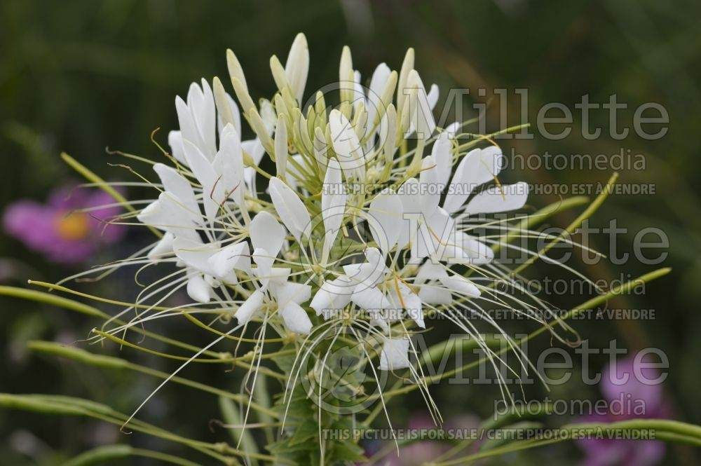 Cleome Colour Fountain Mix (Spider Flower) 1