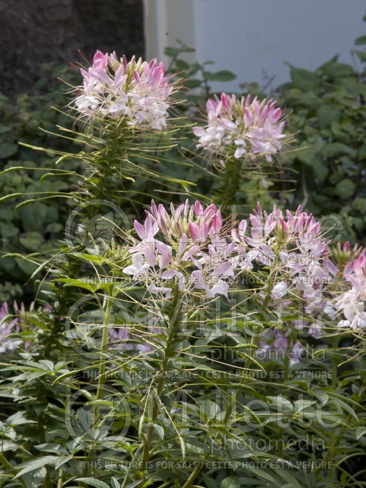 Cleome Sparkler Blush (Spider Flower) 4
