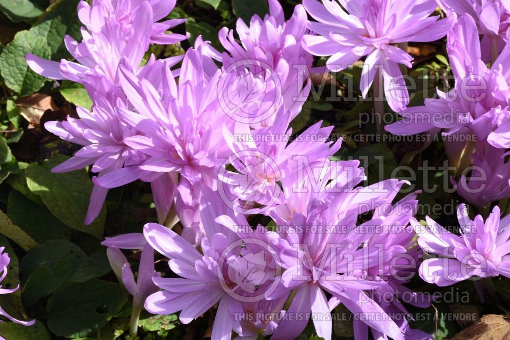 Colchicum Waterlily (False Autumn Crocus) 2