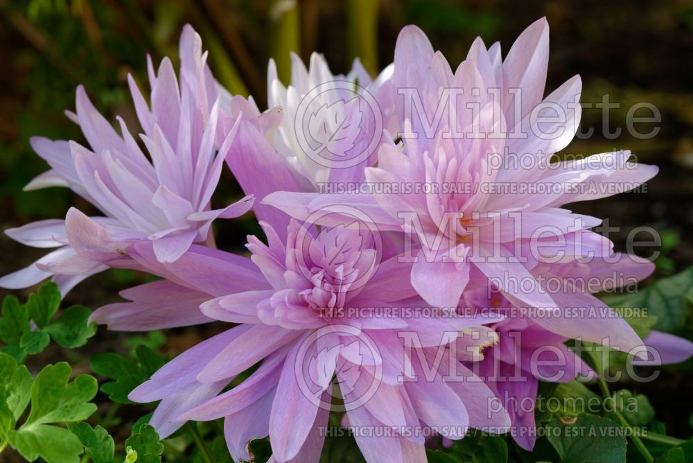 Colchicum Waterlily (False Autumn Crocus) 4