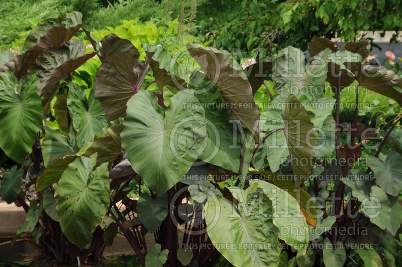 Colocasia Maui Magic (Elephant Ear, Taro) 2