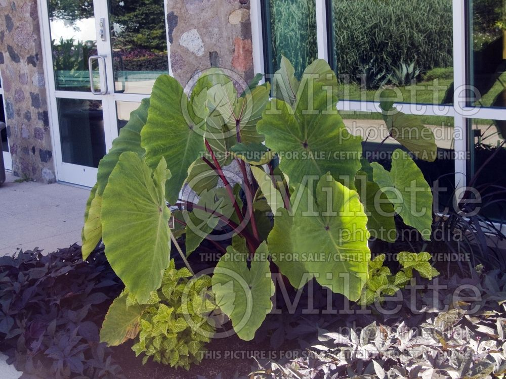 Colocasia Red Stem (Elephant Ear, Taro) 2