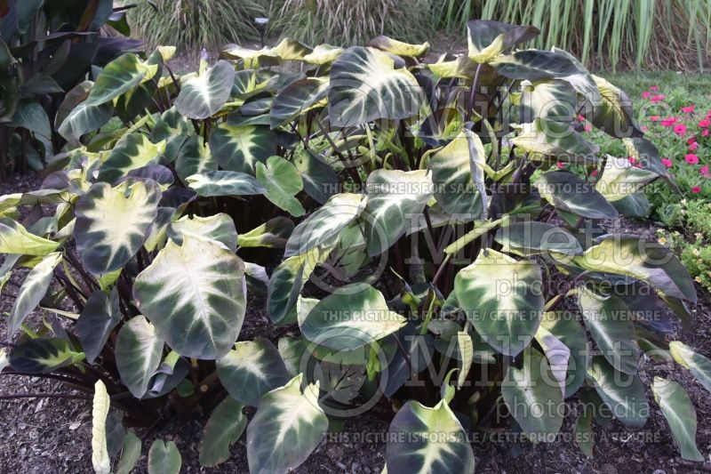 Colocasia Royal Hawaiian Tropical Storm (Elephant Ear, Taro) 6