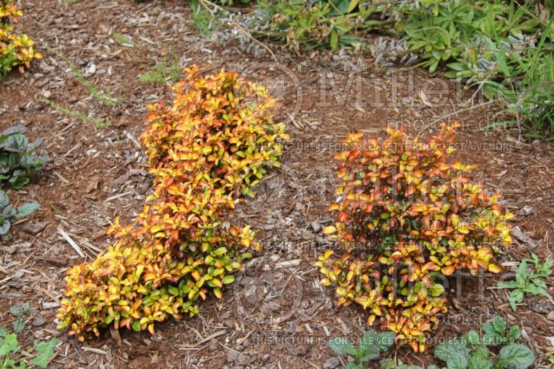 Coprosma Evening Glow (Australian Mirror Bush) 5