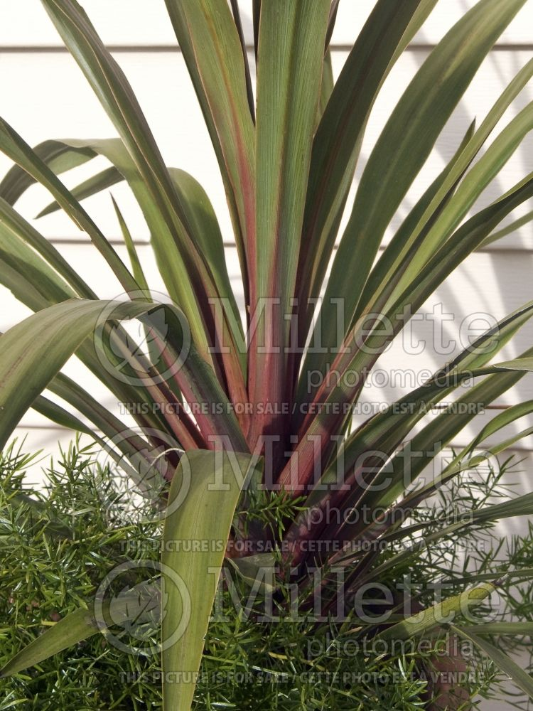 Cordyline Sundance (False Dracaena) 1