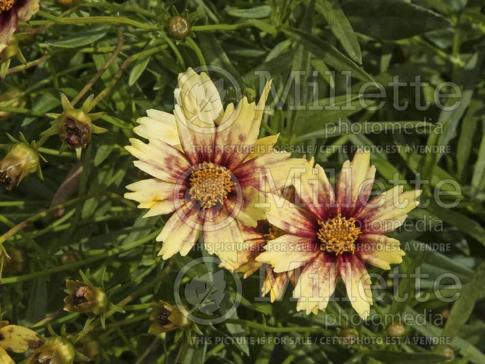 Coreopsis Big Bang Redshift (Tickseed) 5