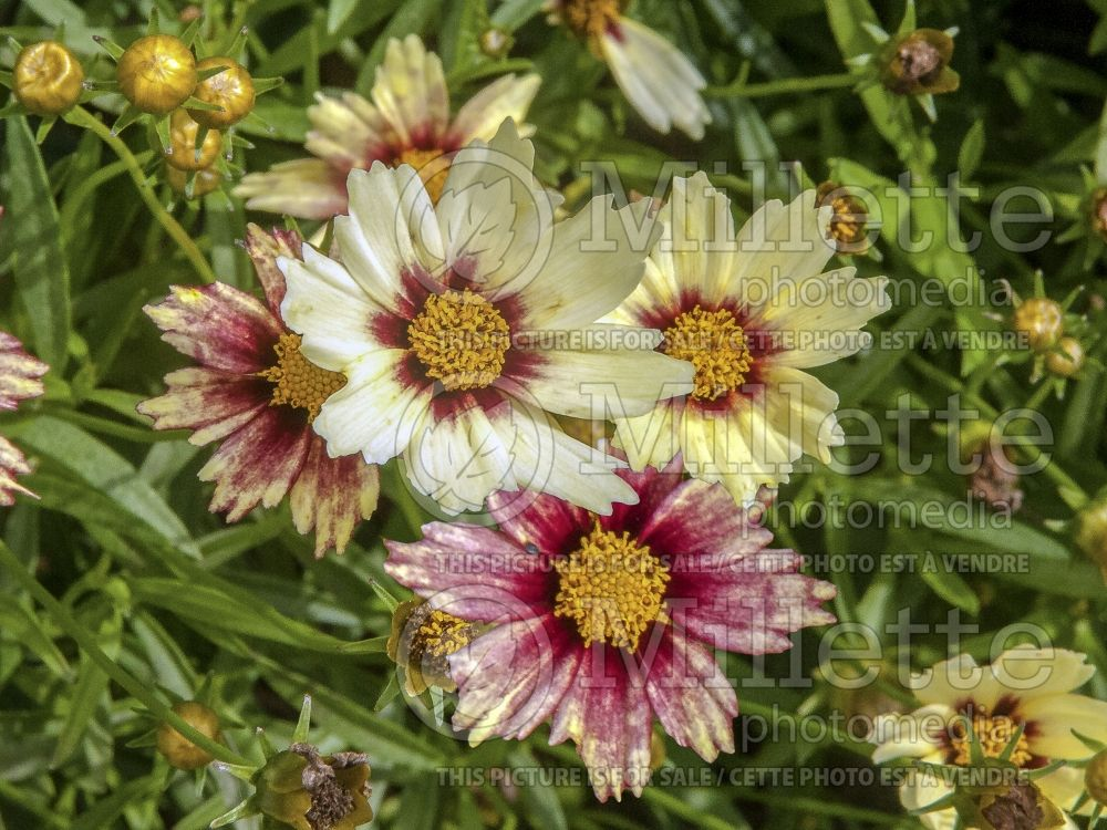 Coreopsis Big Bang Redshift (Tickseed) 6