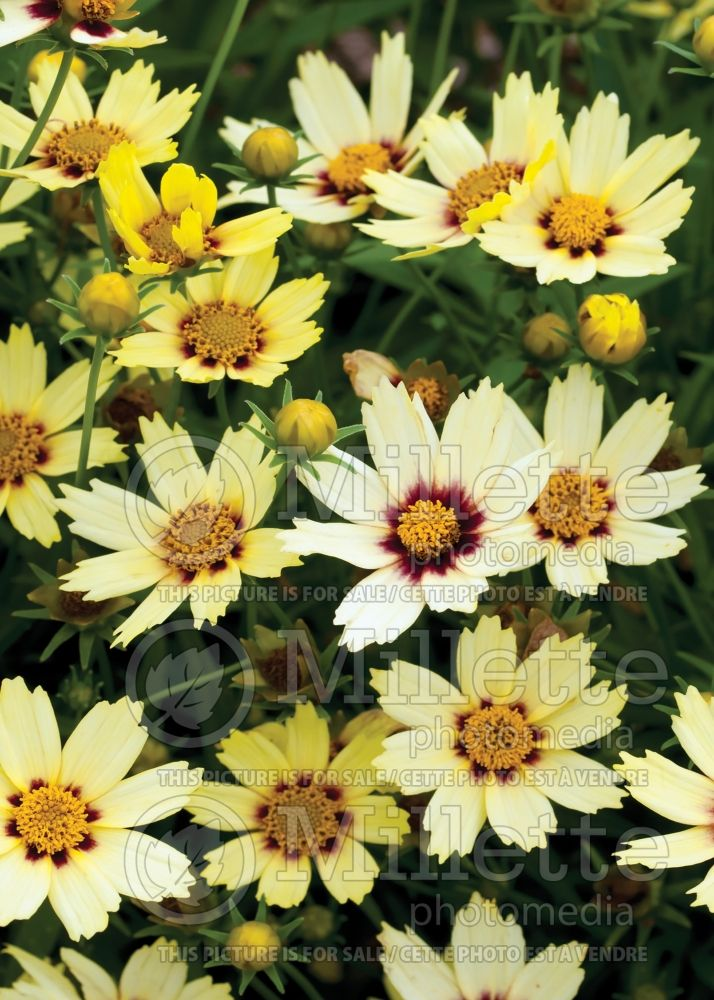 Coreopsis Big Bang Redshift (Tickseed) 8