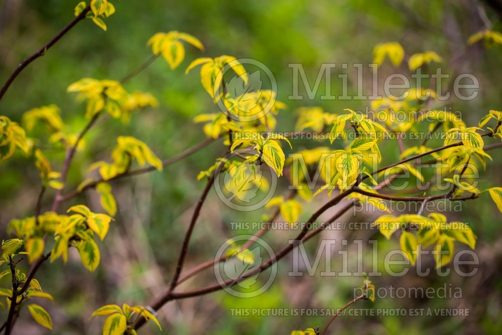 Cornus Golden Shadows (Dogwood - Cornouiller) 2