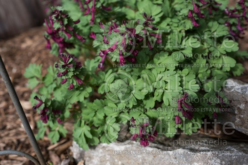 Corydalis Purple Bird (Bird in the Bush, Fumewort) 1