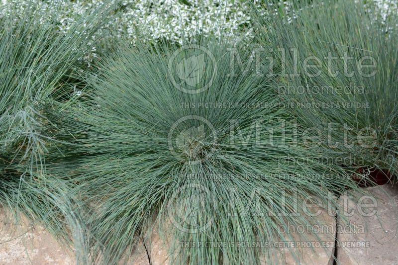 Corynephorus spiky blue clubawn grass 1 for Spiky ornamental grasses
