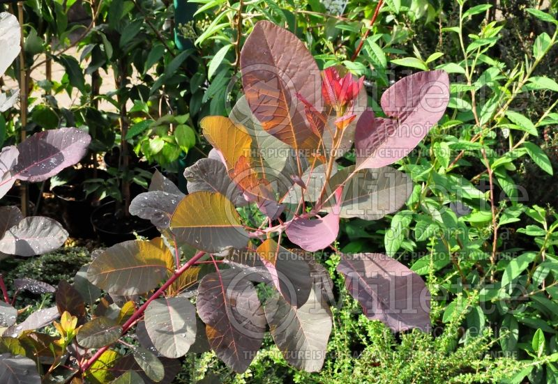 Cotinus Grace (Purple Smoke Bush) 1