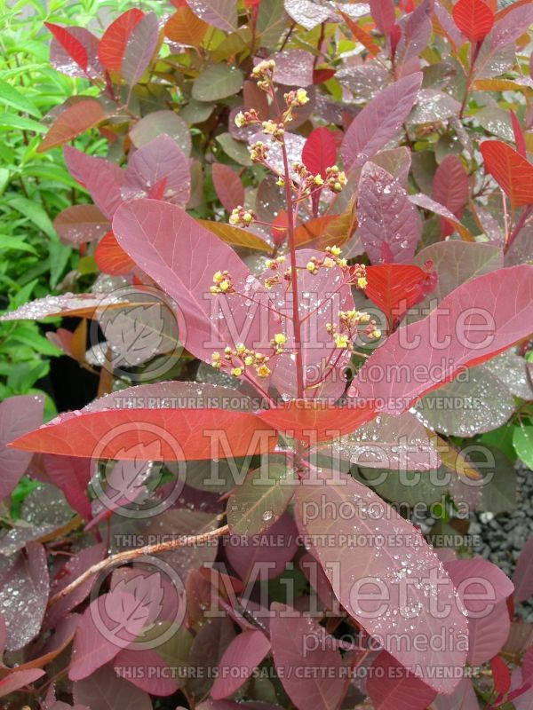 Cotinus Grace (Purple Smoke Bush) 2