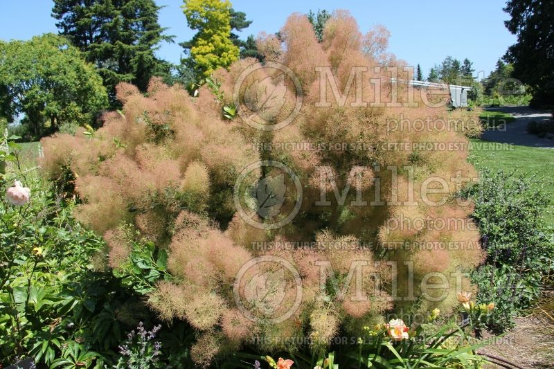 Cotinus Young Lady (Smoketree) 1