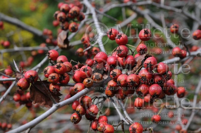 Crataegus crus-galli (cockspur thorn) 7