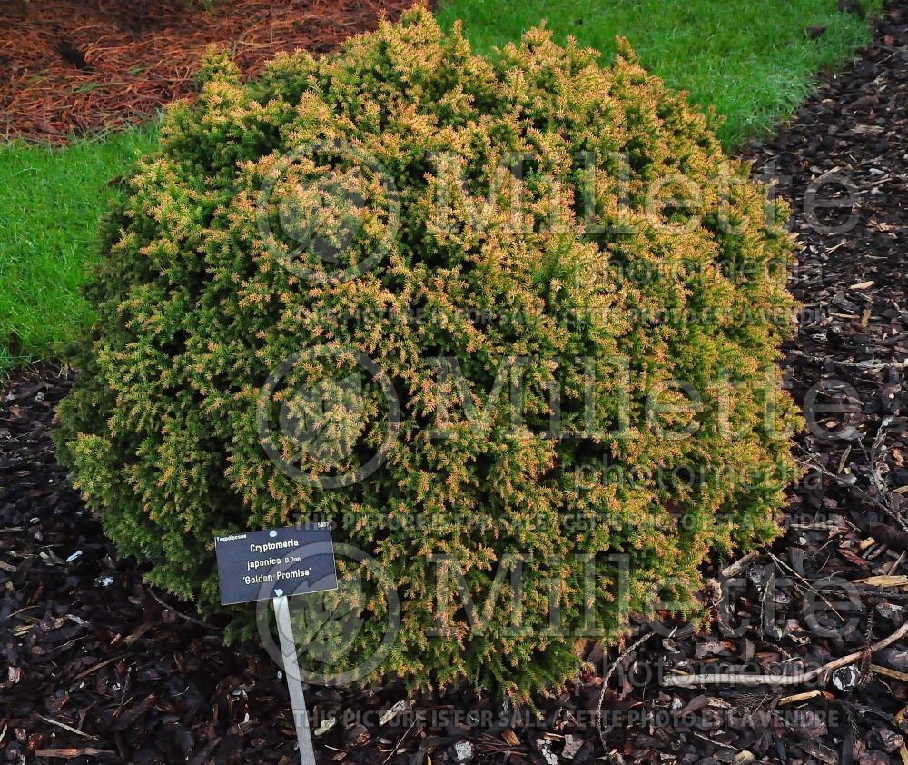 Cryptomeria Golden Promise (Japanese cedar, conifer)  1