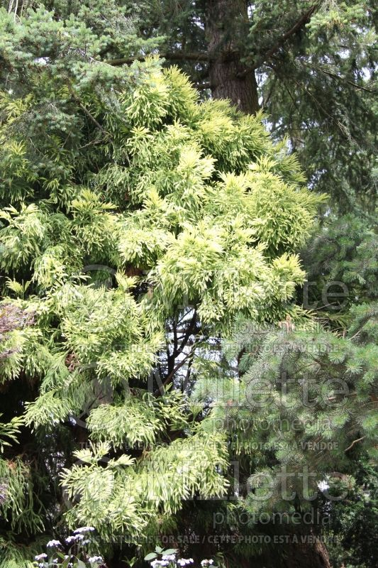 Cryptomeria Sekkan-sugi (Japanese cedar, conifer)  1